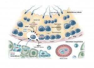 Testicular cell niche - Sperm development - Andrology